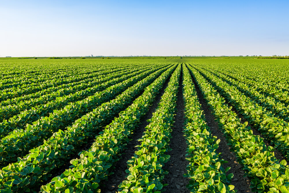 agricultural landscape of rows of green crops against blue sky