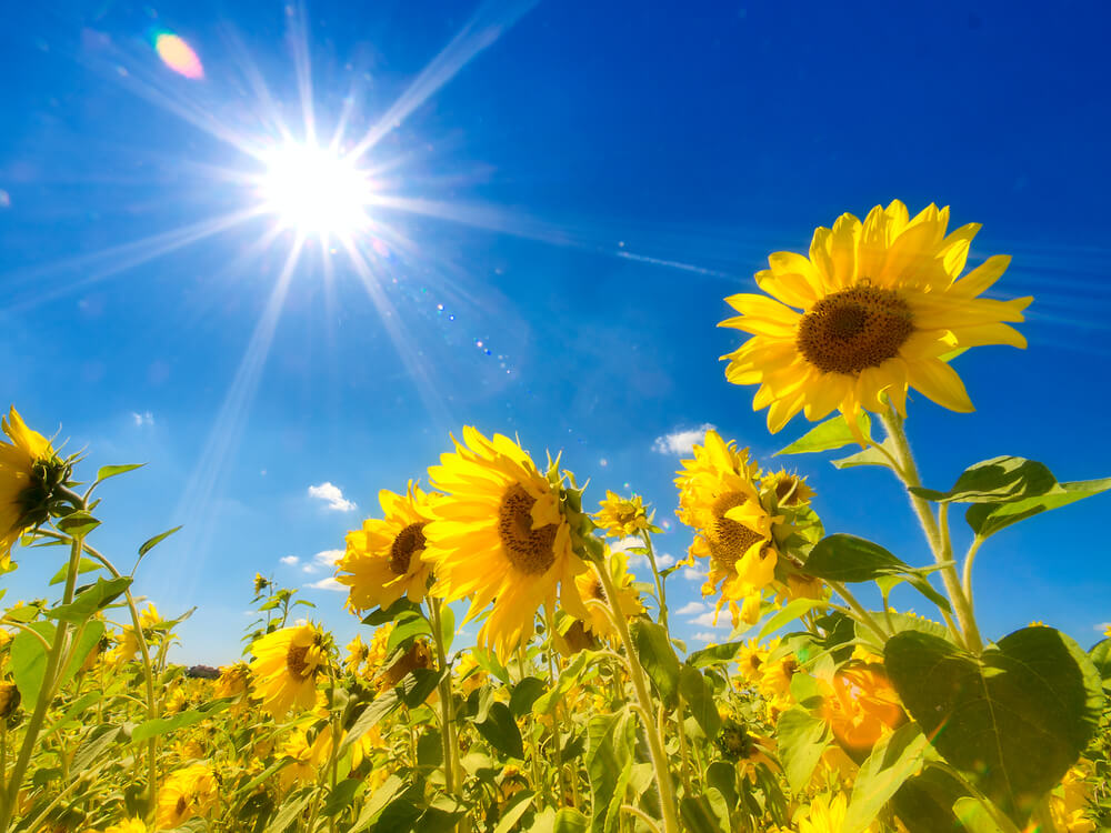 sun flowers with a sunny sky