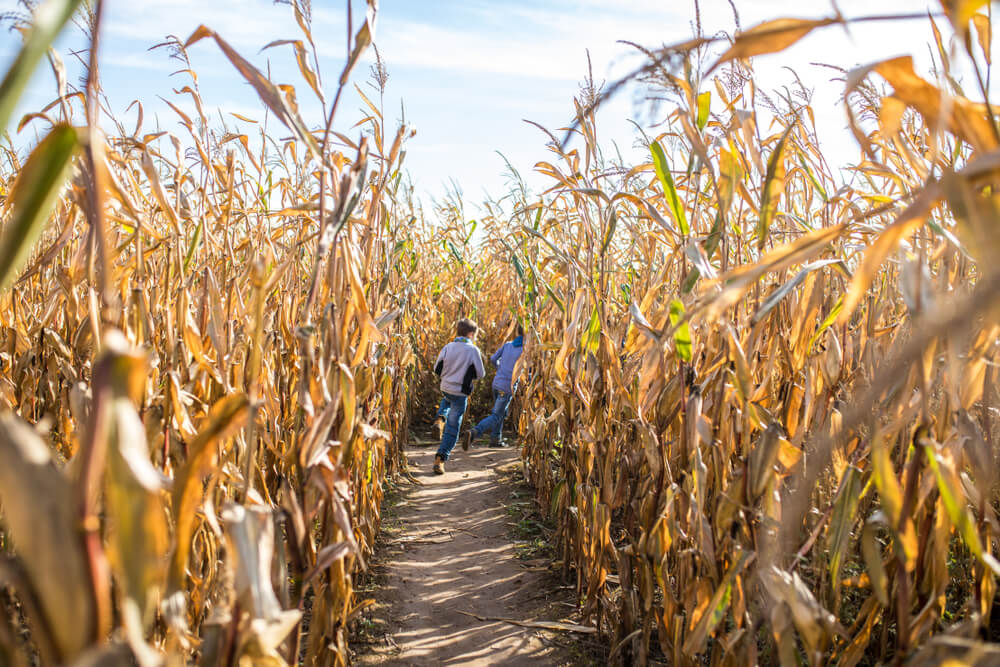 kids running through a corn maze