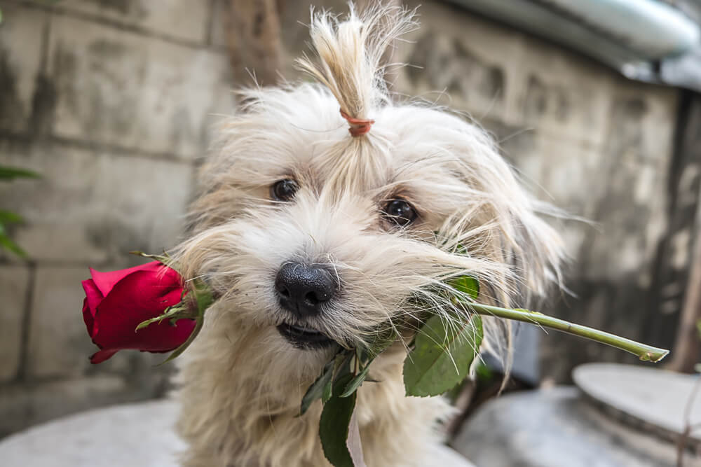 fluffy dog with rose in his mouth